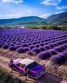 Lawendowe pole, Turcja