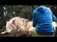 Mężczyzna uratował wilka z ...