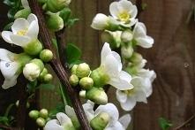 Pigwowiec okazały Nivalis Chaenomeles superba      Niewysokie krzewy Pigwowca Nivalis tworzą twarde, małe, kuliste owoce o zielonożółtej skórce, które są doskonałym surowcem do ...