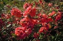 PIGWOWIEC POŚREDNI ETNA CHAENOMELES SUPERBA Dekoracyjny, rozłożysty ciernisty krzew o pięknych, intensywnie czerwonych kwiatach. Odmiana bardzo plenna. Miąższ owoców jest twardy...