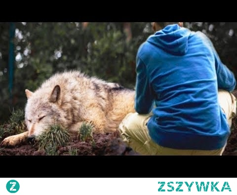 Mężczyzna uratował wilka z pułapki, kilka lat później wilk uratował mu życie