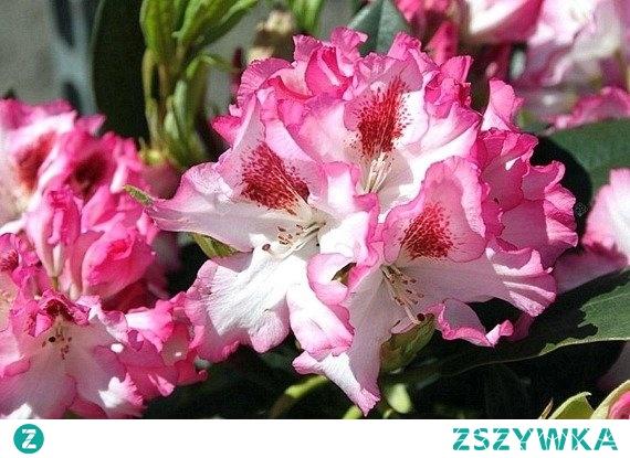 RÓŻANECZNIK KATAWBIJSKI HACHMANN'S CHARMANT RHODODENDRON CATAWBIENSE Odmiana wytwarzająca bardzo dekoracyjne, efektowne, białe kwiaty z różowym i pofalowanym brzegiem zebrane w kuliste kwiatostany. 'Hachman's Charmant' kwitnie obficie w maju i czerwcu. Nadaje się do uprawy w ogrodach japońskich, skalnych, na wrzosowiskach.