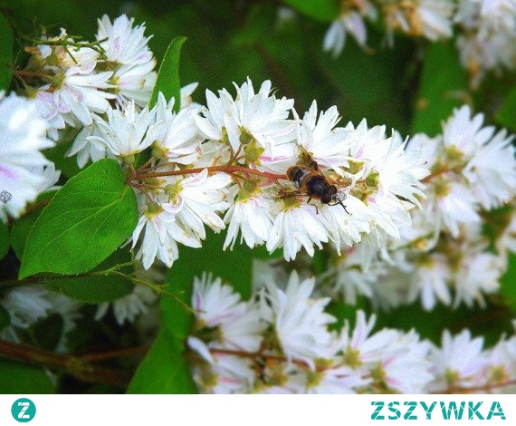 ŻYLISTEK SZORSTKI CANDIDISSIMA DEUTZIA SCABRA Dekoracyjny krzew liściasty odznaczający się obfitym kwitnieniem na przełomie czerwca i lipca. Żylistek szorstki Candidissima Deutzia scabra wytwarza piękne, śnieżnobiałe kwiaty. Pięknie wygląda w ogrodach przydomowych, ale także w formie żywopłotu.