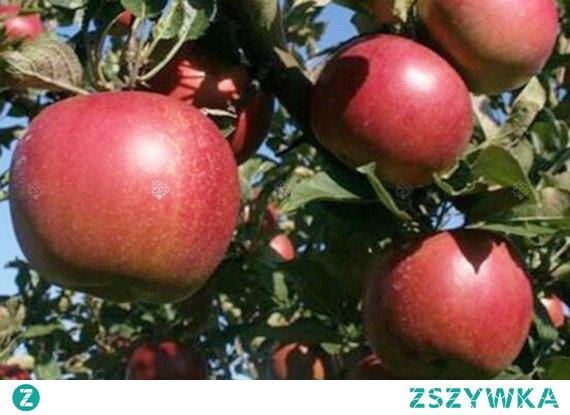 JABŁOŃ JONATAN MALUS DOMESTICA Jonatan Malus to drzewko owocowe (2-3m wys.), jesienne, które osiąga dojrzałość zbiorczą w październiku. Zbiory są bardzo obfite i corocznie. Miąższ smaczny, słodko-kwaśny, jędrny i soczysty. Jabłoń Karłowa Jonatan wymaga zabezpieczenia na zimę.