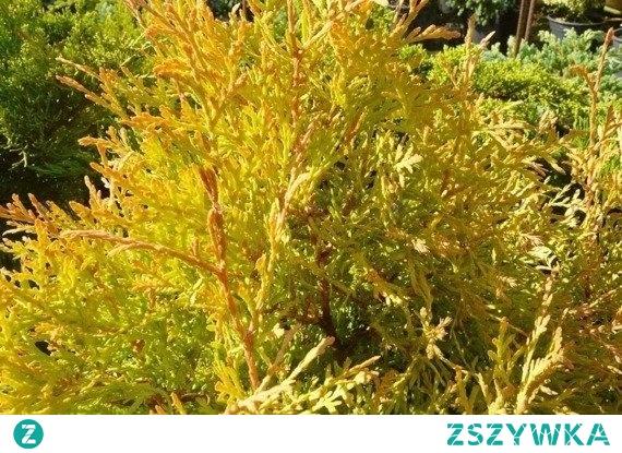 TUJA RHEINGOLD ŻYWOTNIK ZACHODNI THUJA OCCIDENTALIS W okresie jesienno-zimowym igiełki Rheingold zmieniają barwę na miedziano-brązowy.Rzeczą przemawiającą za sadzeniem w miastach jest ich duża wytrzymałość na zanieczyszczenia powietrza.