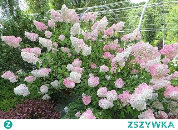 HORTENSJA BUKIETOWA VANILLE FRAISE RENHY PBR HYDRANGEA PANICULATA Roślina ma bardzo ozdobny wygląd – głównie dzięki swoim dużym, białym kwiatostanom, o stożkowatym kształcie, które różowieją w miarę przekwitania. Kwiatostany składają się z drobnych kwiatów. Pojawiają się od lipca do października, na szczytach pędów.