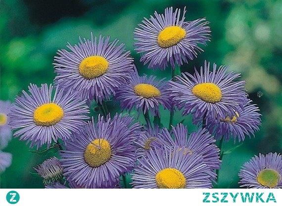 PRZYMIOTNO OGRODOWE BLAU ERIGERON HYBRIDUS Roślina wieloletnia na skalniak, o niewielkich wymaganiach glebowych . Przymiotno ogrodowe Blau Erigeron hybridus przyciąga wzrok przepięknym zabarwieniem kwiatów, które wyglądem przypominają astry. Roślina kwitnie obficie w czerwcu, lipcu i we wrześniu.