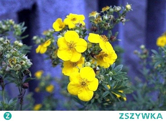 PIĘCIORNIK KRZEWIASTY GOLDSTAR POTENTILLA FRUTICOSA Pięciornik krzewiasty Goldstar wyróżnia bardzo duże i mocno jaskrawe kwiaty o kolorze żółtym lub złotym. Polecany jest do nasadzeń w zieleni miejskiej, parkach, ogrodach skalnych lub przydomowych. Uważany jest za roślinę bardzo łatwą w hodowli i uprawie.