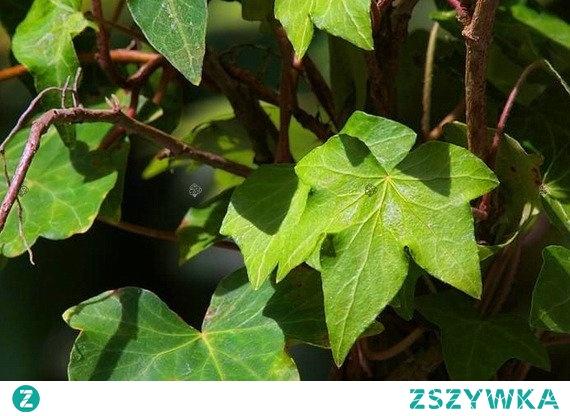 Bluszcz pospolity Green Ripple Hedera helix      Zimozielone pnącze, które zdobią duże liście w ciemnozielonym kolorze, białe kwiaty i granatowe owoce o kulistym kształcie. Bluszcz pospolity Green Ripple sprawdzi się w ogrodach, zieleni publicznej, parkach oraz jako pnącze na ogrodzenia, ściany, kraty.