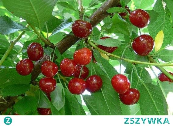 """WIŚNIA DEBRECENI BOTERMO PRUNUS CERASUS """"Debreceni z Botermo"""" zwana Debreczynką, to wczesna, samopylna odmiana wiśni. Atutem są smaczne i zdrowe owoce stosowane jako owoce deserowe, w celach przetwórczych, do mrożenia. Owocuje obficie i regularnie. Pierwsze zbiory - 2, 3 rok po posadzeniu."""