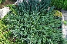 Jałowiec płożący Blue Chip Juniperus horizontalis      Ozdobny krzew o niskim...