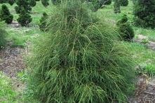 Tuja Filiformis Żywotnik zachodni Thuja occidentalis      Żywotnik zachodni Filiformis najlepiej czuje się posadzony w glebach żyznych oraz umiarkowanie wilgotnych. Krzewy ideal...