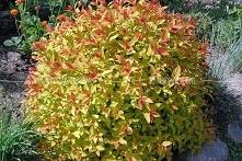 Tawuła japońska Magic Carpet Spiraea japonica      Wybarwienie jest kontrasto...