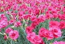 Goździk postrzępiony Munot Dianthus plumarius      Bylina o niebiesko-zielonych liściach i różowych kwiatach, których intensywny zapach wabi pszczoły i motyle. Goździk postrzępi...