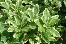Runianka japońska Variegata Pachysandra terminalis Runianka japońska Variegata posiada błyszczące, zielone z białym obrzeżeniem liście i drobne kwiaty koloru białego. Kwiaty maj...