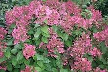 Hortensja bukietowa Early Sensation PBR Hydrangea paniculata To liściasty krzew do 1,5 m wysokości, cenny ze względu na wczesny termin kwitnienia (VI-X). Hortensja jest szczegól...