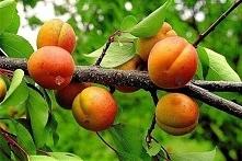 Morela Somo Prunus armeniaca Odmiana deserowa i przerobowa. Samopłodna – nie wymaga zapylaczy. Odporna na mróz. Owocuje co roku, dość obficie, w połowie sierpnia. Owoce są słodk...
