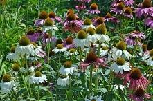Jeżówka to popularna roślina ogrodowa. Do jej zalet można zaliczyć wytrzymałość. Kwiaty tej rośliny prezentują się idealnie na tle zielonych ścian tworzonych przez trawy.