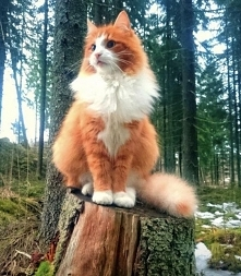 gato noruego del bosque