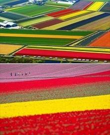 Pole tulipanów, Lisse, Hola...
