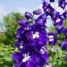 Ostróżka ogrodowa King Arthur Delphinium Ostróżka ogrodowa King Arthur to bylina wieloletnia o wzniesionym pokroju i wys. 1,5-1,8m. Kwitnie od VI-IX. Preferuje stanowiska słoneczne. Ostróżka posiada piękne kwiatostany o niebieskim zabarwieniu. Jest łatwa w uprawie i pielęgnacji, odporna na mróz.