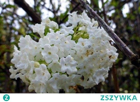 Kalina wonna Candidissimum Viburnum farreri      Kalina wonna w odmianie Candidissimum charakteryzuje się śnieżnobiałym kolorem kwiatów. Dobrze komponuje się zarówno w ogrodach zwykłych jak i w mikro ogrodach.