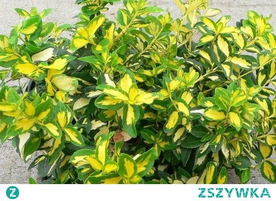 Trzmielina Fortune'a Sunspot Euonymus fortunei      Największą jego ozdobą są liście, mają one średnicę 5 cm i eliptyczny kształt. Są koloru ciemnozielonego, jednak środek liścia jest jasnożółty. Zimą natomiast delikatnie przebarwiają się na lekko czerwony kolor