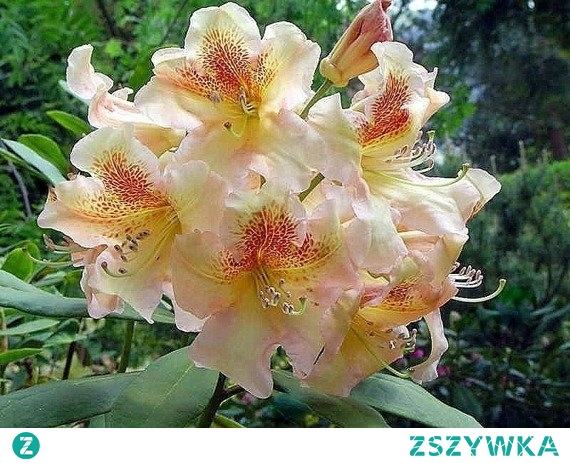 Różanecznik wielokwiatowy Flautando Rhododendron hybridum      Miniaturowy krzew o zwartym pokroju i dużych walorach dekoracyjnych- o czym świadczą liczne, piękne i ciekawe kwiaty barwy różowo-łososiowej. Odmiana wielokwiatowa 'Flautando' wygląda atrakcyjnie w ogrodach przydomowych, na rabatach i w parkach miejskich.