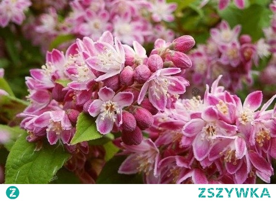 Żylistek mieszańcowy Strawberry Fields Deutzia hybrida      Żylistek strawberry, obficie kwitnący krzew liściasty. Roślina nie jest wysoka, dorasta do 1,5 m. Krzew zakwita na przełomie maja i czerwca, zachwycając swymi kwiatostanami do końca lipca. Kwiaty są niewielkie. Potrzebuje w pełni słonecznych stanowisk.