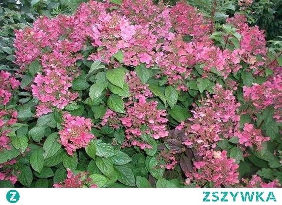 Hortensja bukietowa Early Sensation PBR Hydrangea paniculata To liściasty krzew do 1,5 m wysokości, cenny ze względu na wczesny termin kwitnienia (VI-X). Hortensja jest szczególnie dekoracyjna w fazie kwitnienia. Dodatkową ozdobą Early Sensation są kolorowe, czerwono-brązowe liście. Roślinę cechuje mrozoodporność.