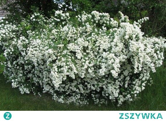 Tawuła van Houtte'a Spiraea vanhouttei Kwiaty Tawuły białej van Houtte'a są białe, zebrane w gęste kwiatostany pokrywają całkowicie pędy. Tawuła polecana do sadzenia pojedynczo i w grupach, jako barwny element rabat lub na nieformowane żywopłoty.