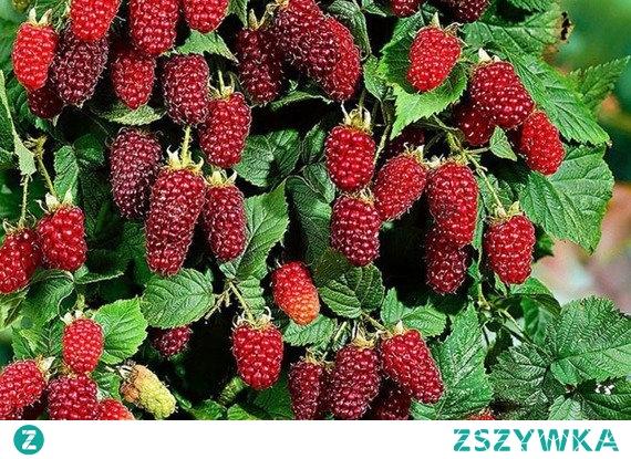 Malinojeżyna Tayberry Medana Rubus Odmiana silnie rosnąca nie dająca odrostów korzeniowych. Pokrój krzaczasty, do płożącego, pędy dorastają do 4 metrów długości. Owocuje obficie, od połowy lipca, do końca sierpnia. Owoce bardzo smaczne, intensywnie czerwone.