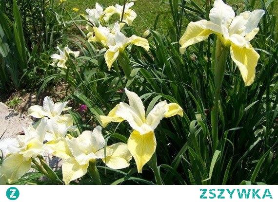 Kosaciec syberyjski Butter and Sugar Irys syberyjski Iris sibirica Butter and Sugar to odmiana kosaćca syberyjskiego, roślina bylinowa (wieloletnia) do 80cm wysokości, odporna na suszę, szkodniki, niezawodna na rabatach. Preferuje stanowiska słoneczne, cieniste. W maju pojawiają się atrakcyjne, kremowo-żółte kwiaty.