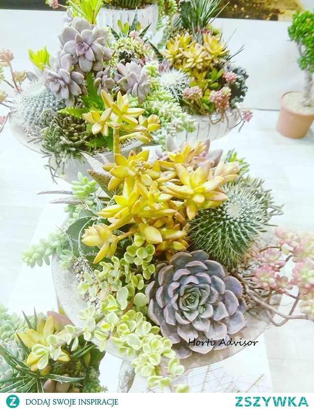 Mini rockery is alternative for lovers of rocky gardens who want to have part of the garden at home,  on the balcony or terrace  #minirockery #rockery #rockerygarden #rockeryplants #miniskalniak #skalniak #potplant #roslinydoniczkowe #succulents #cactus #escheveria #hortiinfluencer #hortiadvisor #gardenlover #garden #plantlover #flowerdesign #flower #plantlovers #naturephoto #gardeninfluencer #flowerinfluencer #homedesign #homedecoration #plant #gardening #horticulture #picoftheday