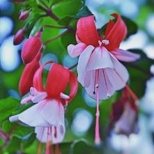 #fuchsia #fuksja #gardeningtips #horticultura #mygarden #indoorplants #potpla...