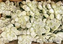Sukulenty - rośliny o nietuzinkowym wyglądzie i wszechstronnym zastosowaniu. Zapraszam na stronę @ horti.advisor aby dowiedzieć się więcej o ich uprawie, rozmnażaniu oraz wykorz...