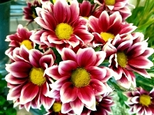 Chrysanthemums sometimes ca...