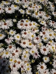 """""""Dywan"""" kwiatów"""