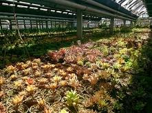 Kaktusiarnia w Rumi