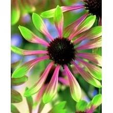 jeżówka różowo zielona