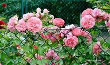 Róże pnące są tak zwanymi p...