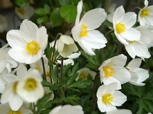 W dzieciństwie zawsze rodzice zabierali nas do lasu kiedy kwitły zawilce...uwielbiam te kwiaty i przypominają mi dom