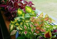 Coleus blumei - roślina, kt...