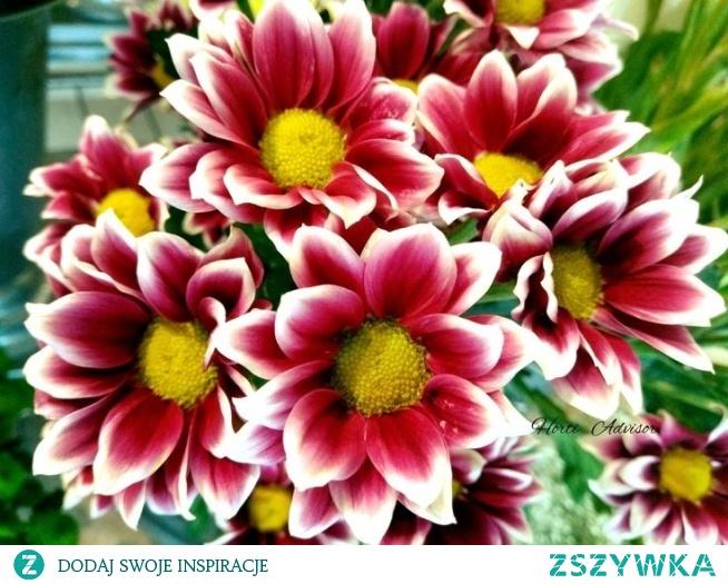 Chrysanthemums sometimes called mums or chrysanths
