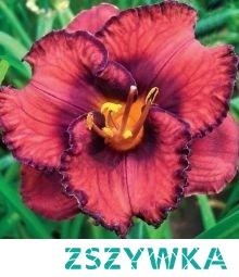 Liliowiec Berrylicious