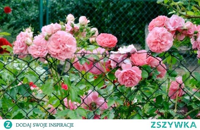 Róże pnące są tak zwanymi pozornymi pnączami.