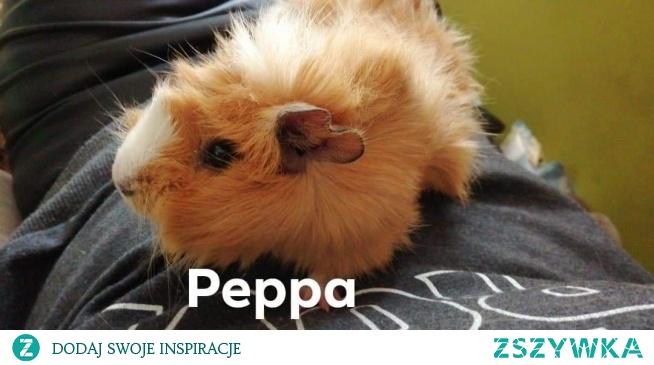 Poznajcie moją świnke morską nazywa sie Peppa