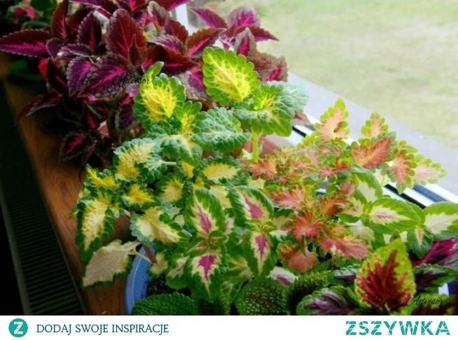 Coleus blumei - roślina, która nie musi kwitnąć aby zachwycić wszystkich swą dekoracyjną naturą.