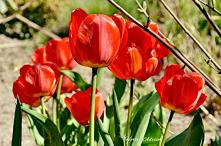 Tulip L.