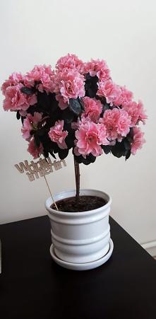 Azalia na pniu. Pięknie ozdobi niejedno wnętrze #flowers #pink #spring
